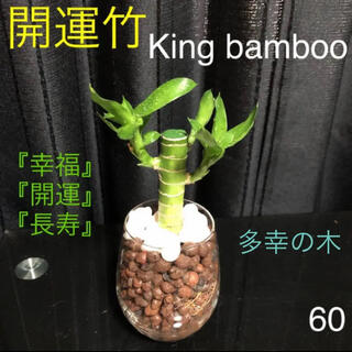 【60】開運竹 多幸の木 3芽付キングバンブー ミリオンバンブー 抜き苗(プランター)