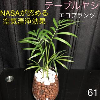 【61】NASAが認める空気清浄効果 テーブルヤシ 抜き苗(その他)