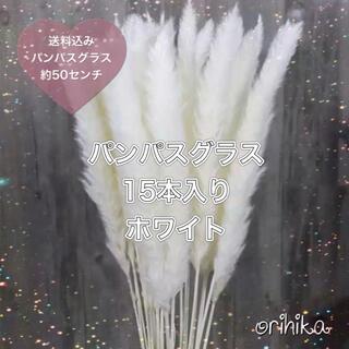 【大人気】パンパスグラス ホワイト 15本 約50センチ 送料込み (ドライフラワー)