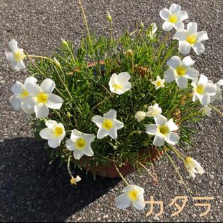 ☆超レア☆オキザリス カタラ 球根 6個 Cathara(その他)