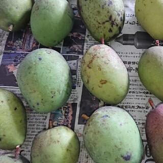 マンゴー 3kg 摘果 グリーン マンゴー(フルーツ)