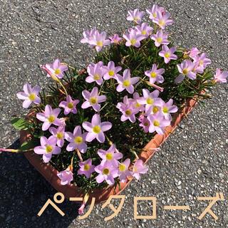 ☆人気☆オキザリス ペンタローズ 球根 6個 Pentarose(その他)