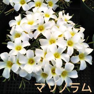 ☆超レア☆オキザリス マソノラム 球根 6個 massonorum(その他)