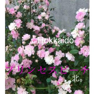 花芽付き つるバラ 苗  プリンセスピーチ  ラウンドスケープローズ ミニバラ(その他)