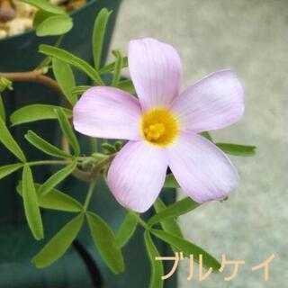 ☆超レア☆オキザリス ブルケイ 球根 6個(その他)