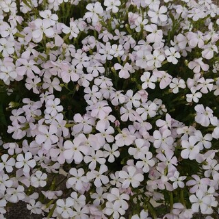 白色のシレネ お花の種(その他)