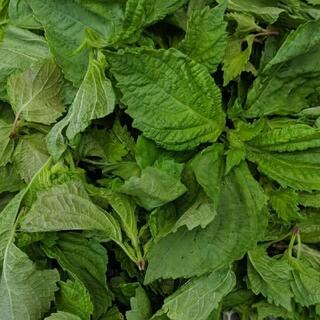 無農薬 青しそ ジュース ペースト用 約200g(野菜)