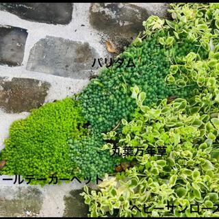 多肉植物 セダム カット苗 4種類セット グランドカバー 寄せ植えに(その他)