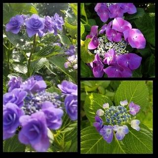 紫陽花3種 青八重2本 一重2本、赤紫一重2本 挿し木用カット枝 ラクマパック(プランター)
