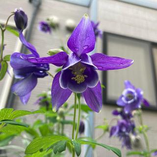 オダマキ(紫)*種150粒(その他)