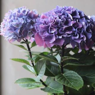 黒茎紫陽花 フリル咲き 秋色紫陽花 挿し木用カット枝 2本(その他)