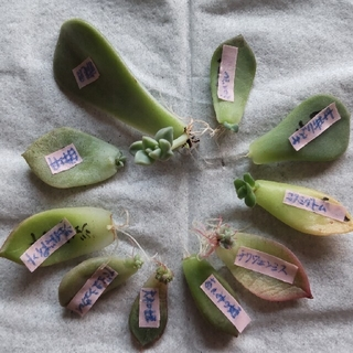 [華うさぎ様 ご確認用]  多肉植物 葉挿し 10枚セット(その他)