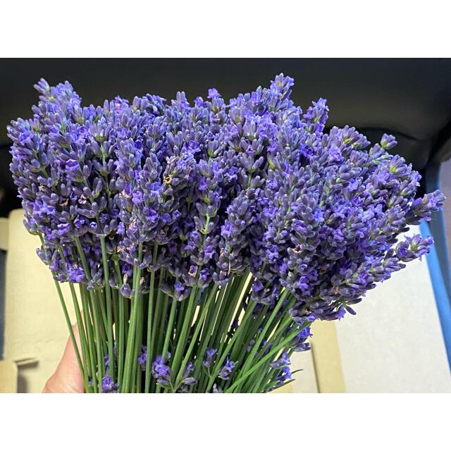 ラベンダー 生花 6/20収穫 100本 ハンドメイドのフラワー/ガーデン(ドライフラワー)の商品写真