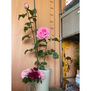 ピンクアバランチェ切花 バラ 3蕾付き バラ (その他)