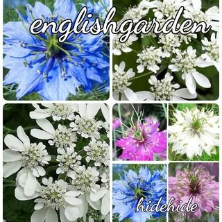 ♥花の種 オルレア ニゲラ(プランター)