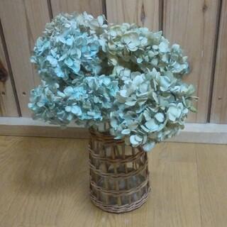 アジサイ ドライフラワー 淡色~水青~黄緑系ベージュ 茎有5