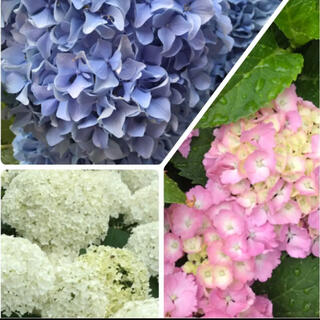 紫陽花挿し穂3種セット(プランター)
