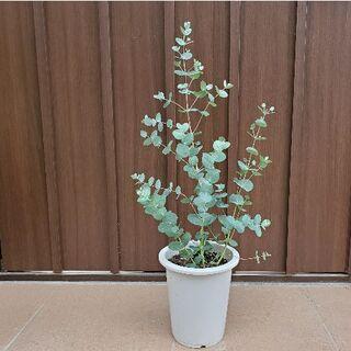 シルバーグリーンの葉が可愛い♪ユーカリグニー 鉢植え 観葉植物 苗(プランター)