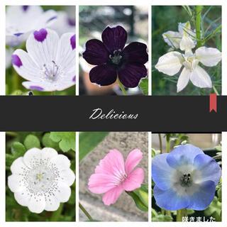 種 手間要らず 秋まき6種類 ネモフィラ  ほか 春の花壇(プランター)