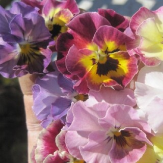 とっても可愛い☆フリル咲きの「夢見るパンジー」全色ミックス種30粒+おまけ(プランター)