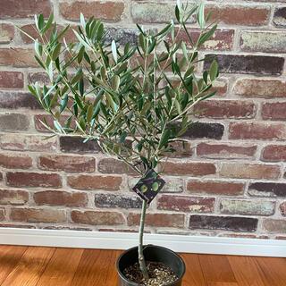観葉植物 創樹(SOUJU)  オリーブの木 5号 ネバディロブランコ 2(プランター)