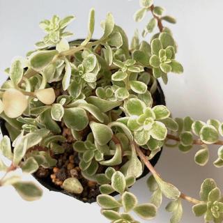 多肉植物✴︎ 班入り丸葉万年草 抜き苗(プランター)