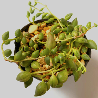 多肉植物✴︎ ピーチネックレス 抜き苗(プランター)