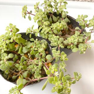 多肉植物✴︎ ブロウメアナ カット苗 2ポット(プランター)