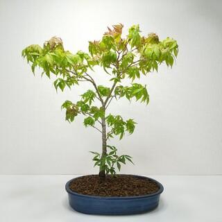 山紅葉(ヤマモミジ)盆栽 G001(その他)