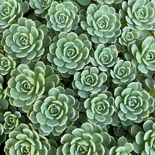 多肉植物 セダム ローズセダム 抜き苗