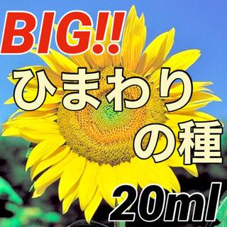 【美しい大輪‼️】ビッグひまわり(ロシア)の種 20ml ヒマワリ 向日葵 種(その他)