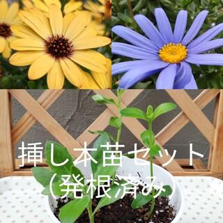 ✾挿し木苗3セット・発根済み✾  オステオスペルマム&ブルーデイジー(その他)