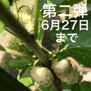希少種 マルベリー 桑 白実桑 剪定枝5本 ペルシャンホワイト 送料無料(その他)