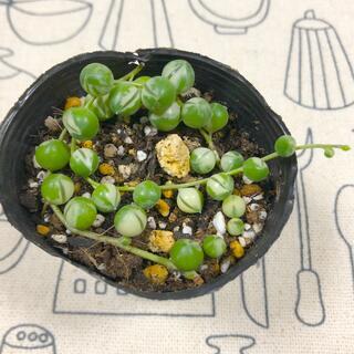 多肉植物☆斑入りグリーンネックレス抜き苗&おまけセダム