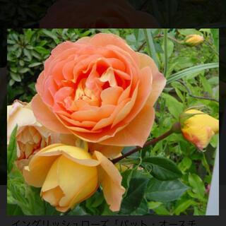 薔薇 パットオースチン(その他)