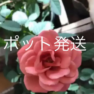 A限定✨ポット発送(ᵔᴥᵔ)♡テディベア♡ミニバラ♡アンティークお庭(その他)