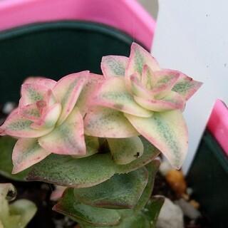 多肉植物 クラッスラ 南十字星 ピンクの斑入り カット苗(その他)