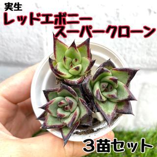多肉植物 実生苗 レッドエボニースーパークローン3苗セット(その他)