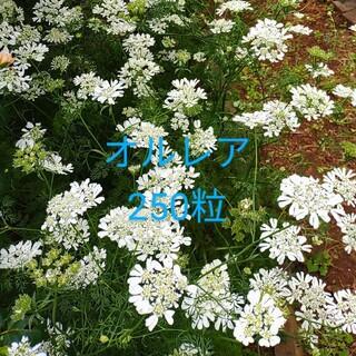 オルレア(オルラヤ)の種 250粒(プランター)