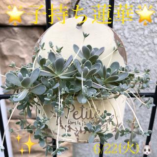 多肉植物❤︎子持ち蓮華❤︎寄せ植え❤︎鉢のまま❤︎お飾り付けます♪🐞🐝🍄(その他)