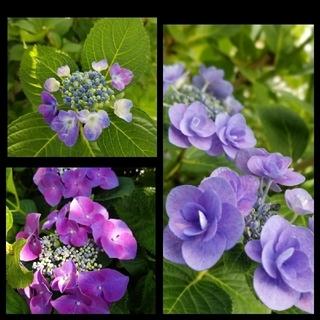 紫陽花3種6本 ブルー八重2本 一重2本、赤紫一重2本 挿し木用カット枝 (プランター)