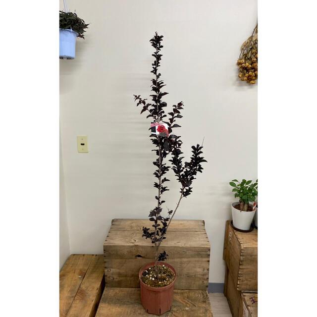 サルスベリ ベストレッド 高さ約130㎝ 赤い花が咲きます 7寸 ハンドメイドのフラワー/ガーデン(その他)の商品写真