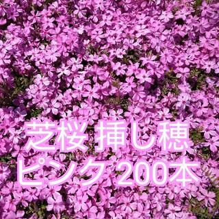 芝桜 挿し穂 ピンク 200本(その他)