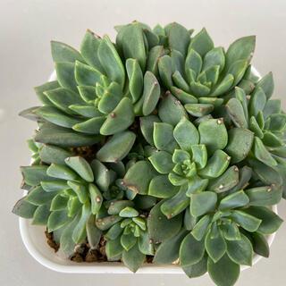 多肉植物 ❣️ エメラルドリップ  抜き苗(その他)