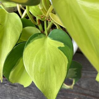 観葉植物 オキシかラジューム ブラジル(その他)