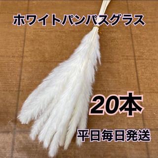SALE ホワイトパンパスグラス20本(ドライフラワー)