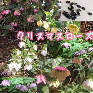 クリスマスローズ種子15粒 タネ自家採取花植物(その他)