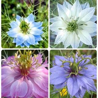♥ 花の種  ニゲラ 種 (プランター)