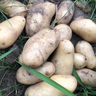 山梨県産無農薬栽培 定番ポテト メークイン約1.2キロ 送料込(野菜)