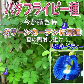 バタフライピー種 30粒(プランター)